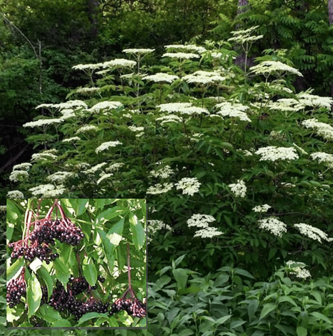 Recipe For Old-Fashioned Elderflower Fritters. The elderberry bush and inset of the berries