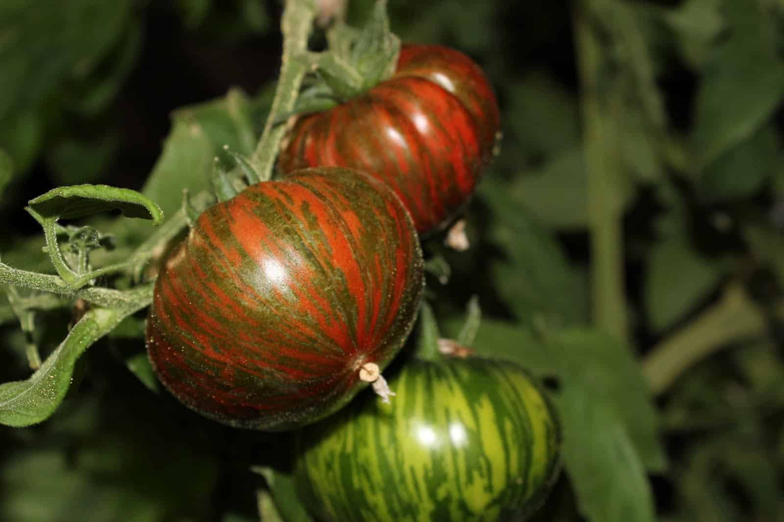 Chocolate Striped tomatoes on the vine