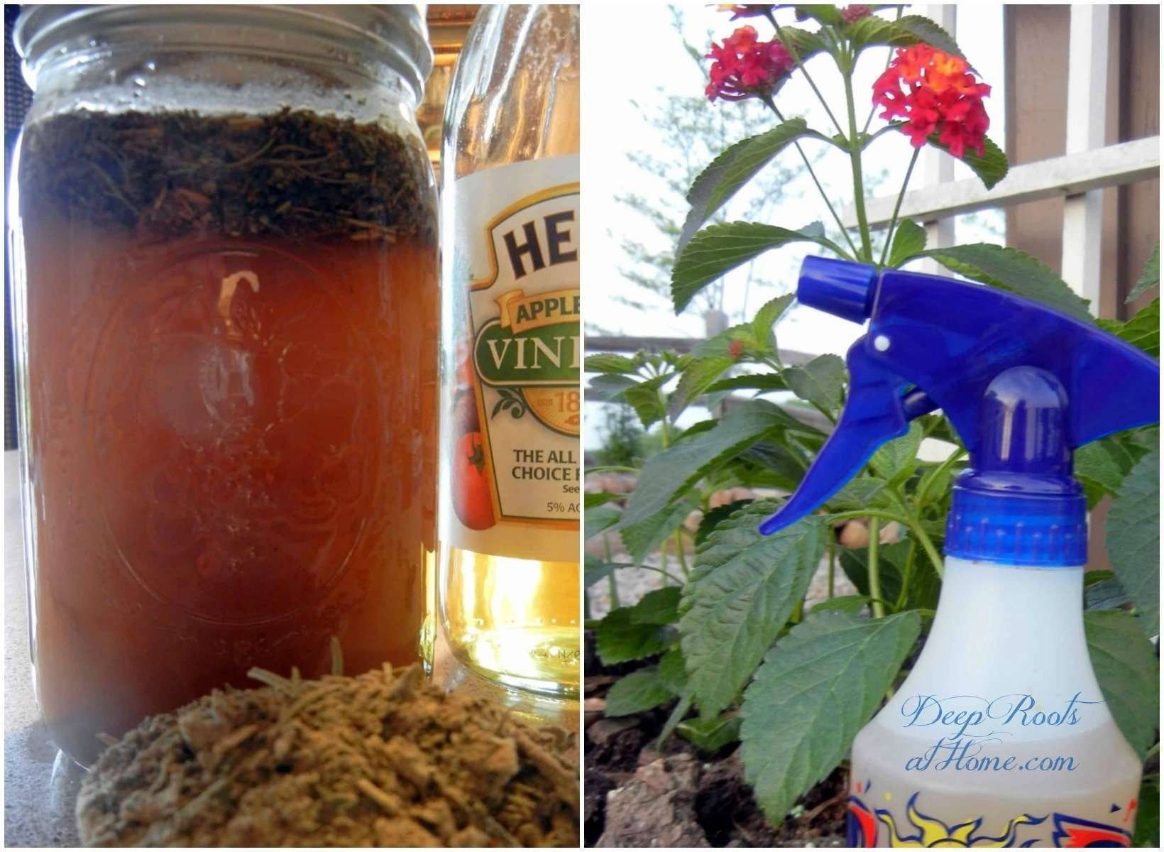 Insect Repellant: Vinegar of the Four Thieves for Chiggers, Mosquitoes. dried herbs in apple cider vinegar