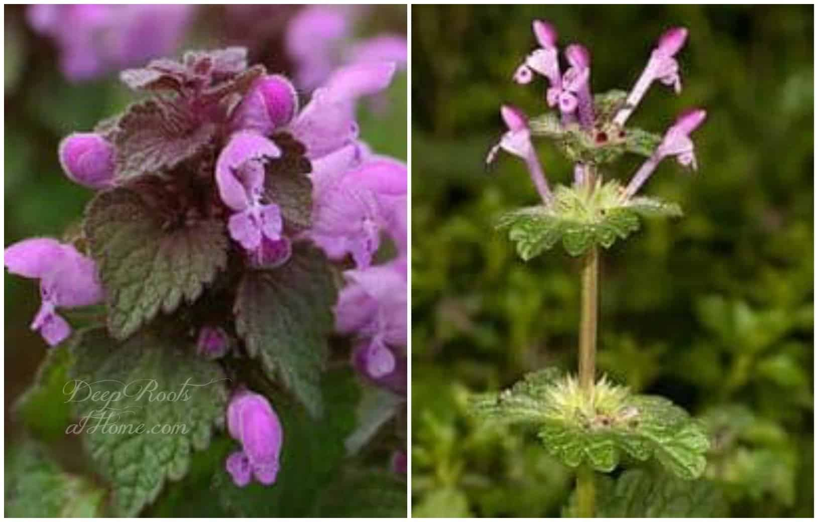 The Joys of Foraging: Edible Wild Free Food For You To Enjoy! Purple Dead Nettle (Lamium purpurea) (left) Henbit (Lamium amplexicaule)