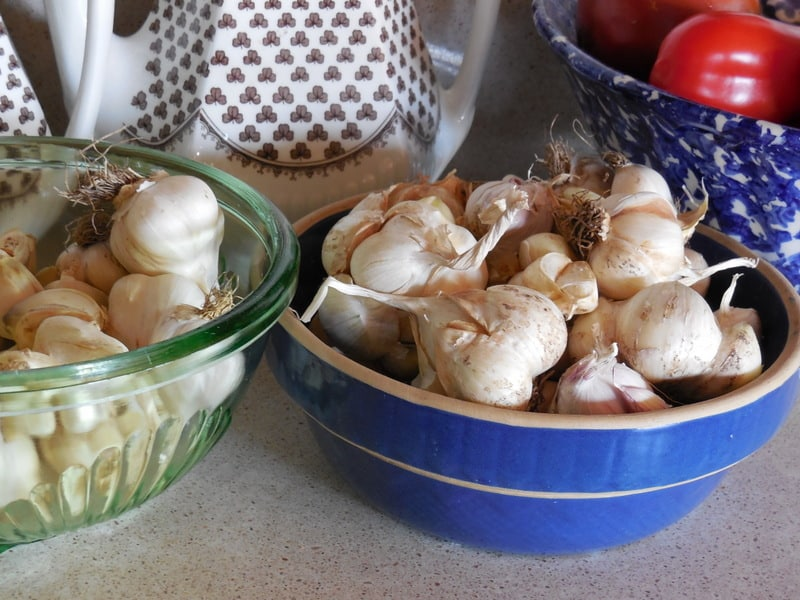 Put Garlic Tincture In Your Medicine Chest~ A DIY Home Remedy. Freshly harvested garlic bulbs