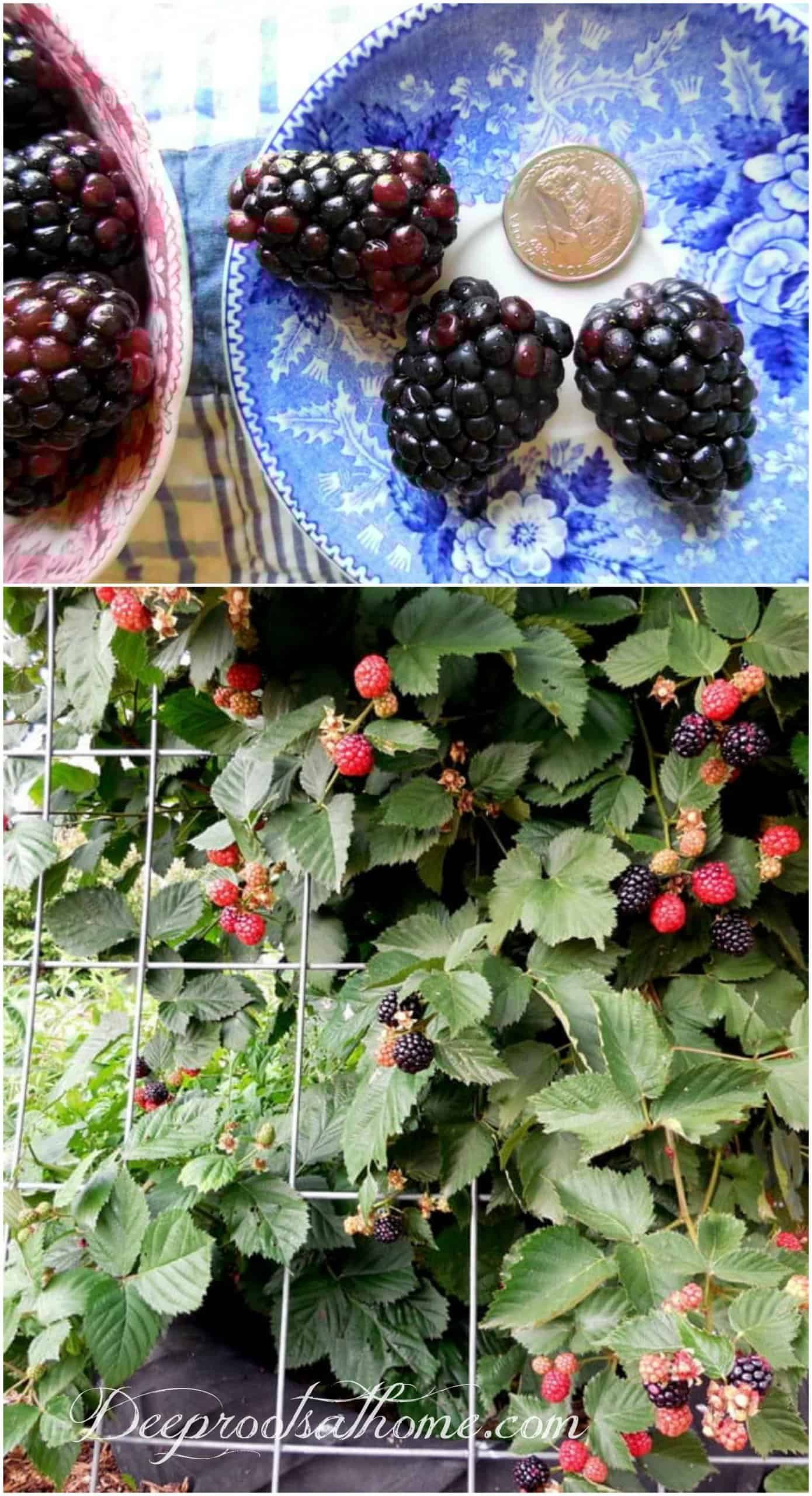 Ode To Summer, A Visual Journal, Arapaho blackberries, grown in a tire and over a cattle panel