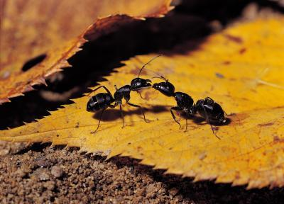 Get Rid Of Ants, Fast, The Non-Toxic Way, one ant feeding another ant