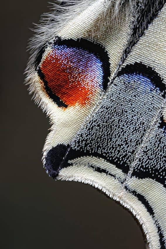 butterfly scales, close up