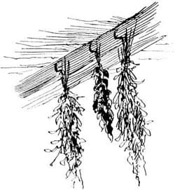 20 Safe Antibacterial and Antiviral Herbs {A Quick Guide}. Herbs Hung to Dry in the rafters, pen and ink drawing