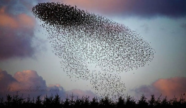 Murmuration: A Not-So-Rare Winter Spectacle. Starling behavior, a bird phenomenon.