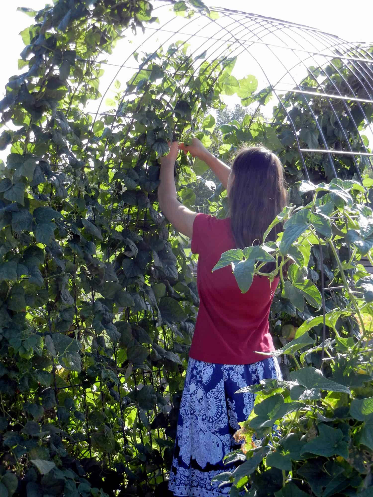 Our daughter picking green beans in the kitchen garden