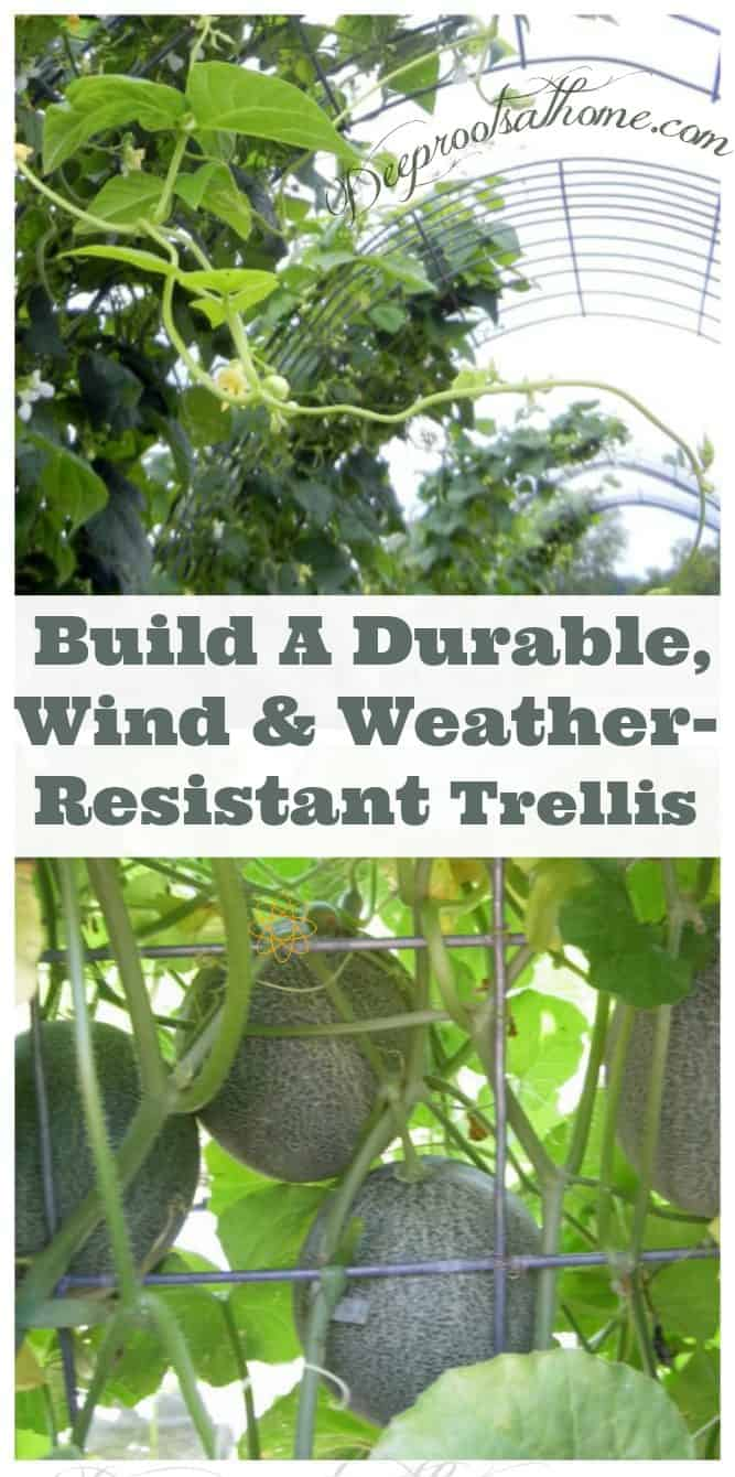 Building A Strong Wind & Weather-Resistant Trellis, cattle panel arbors with green bean vines growing up
