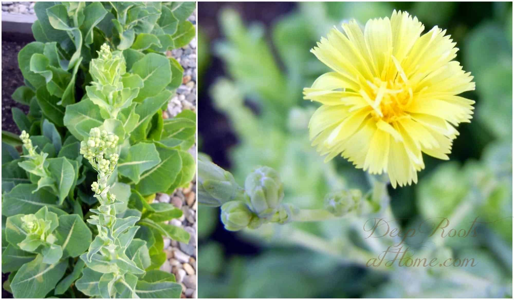 Gathering Lettuce Seed ~ Seed Saving Tips. Romaine lettuce going to seed