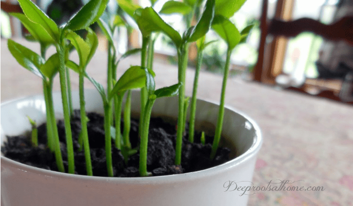 Grow a Lemon Tree from Seed in Your Own Home, little lemon trees in a tea cup
