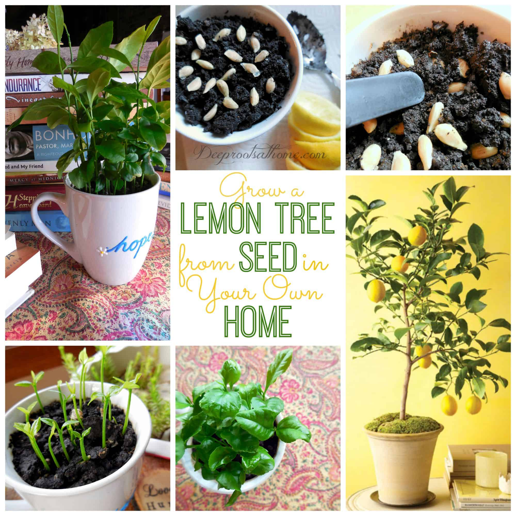 Grow a Lemon Tree from Seed in Your Own Home, grow citrus indoors, Versailles, France, orangery, greenhouse, beautiful, luxurious house plant, feeding, organic fertilizer, make lemonade, garden, patio, cold weather, lemons, bright spot, bright sunlight, south facing window, fruit production, watering plants, winter, summer, soil, DIY, leaf drop, pruning citrus, new growth, branches, outdoors, year-round, hot, sunny regions, indoors, edible houseplants, cold-season climates, miniature, cheer, sunny space, foolproof, windowsill, forest, fruit, rich in magnesium, calcium, phosphorus, potassium, vitamins, fragrant, potted plants, Marie Antoinette, at home, starting from seed, germinated, homegrown, dwarf varieties, Meyer lemon, kaffir lime, calamondin oranges, dwarves, 2-3 year old plant, food store, Whole Foods, grocery, organic lemons, non-organic, germinating, planting, stones, moist soil, sunny spot, sprouts, be patient, mist, over-watering, cling wrap, greenhouse effect, seedlings, transplant, pot, drainage holes, saucer,