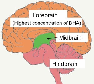 A diagram of brain with forebrain, midbrain, hindbrain,