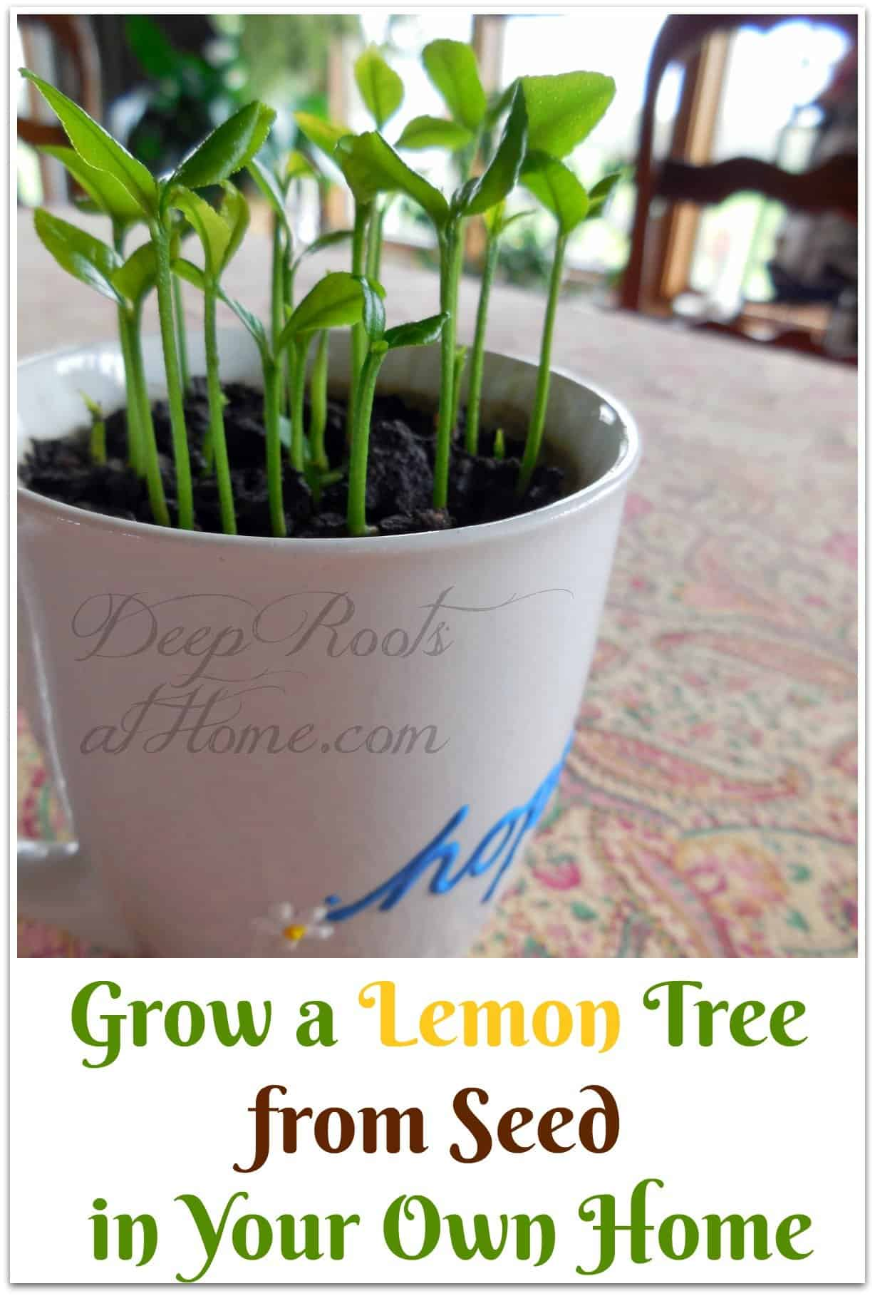 Grow a Lemon Tree from Seed in Your Own Home, lemon tree seedlings in a teacup