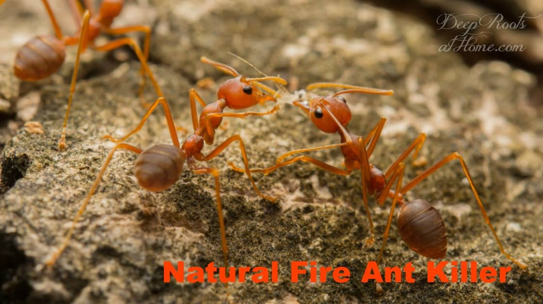 fire ants feeding on bait
