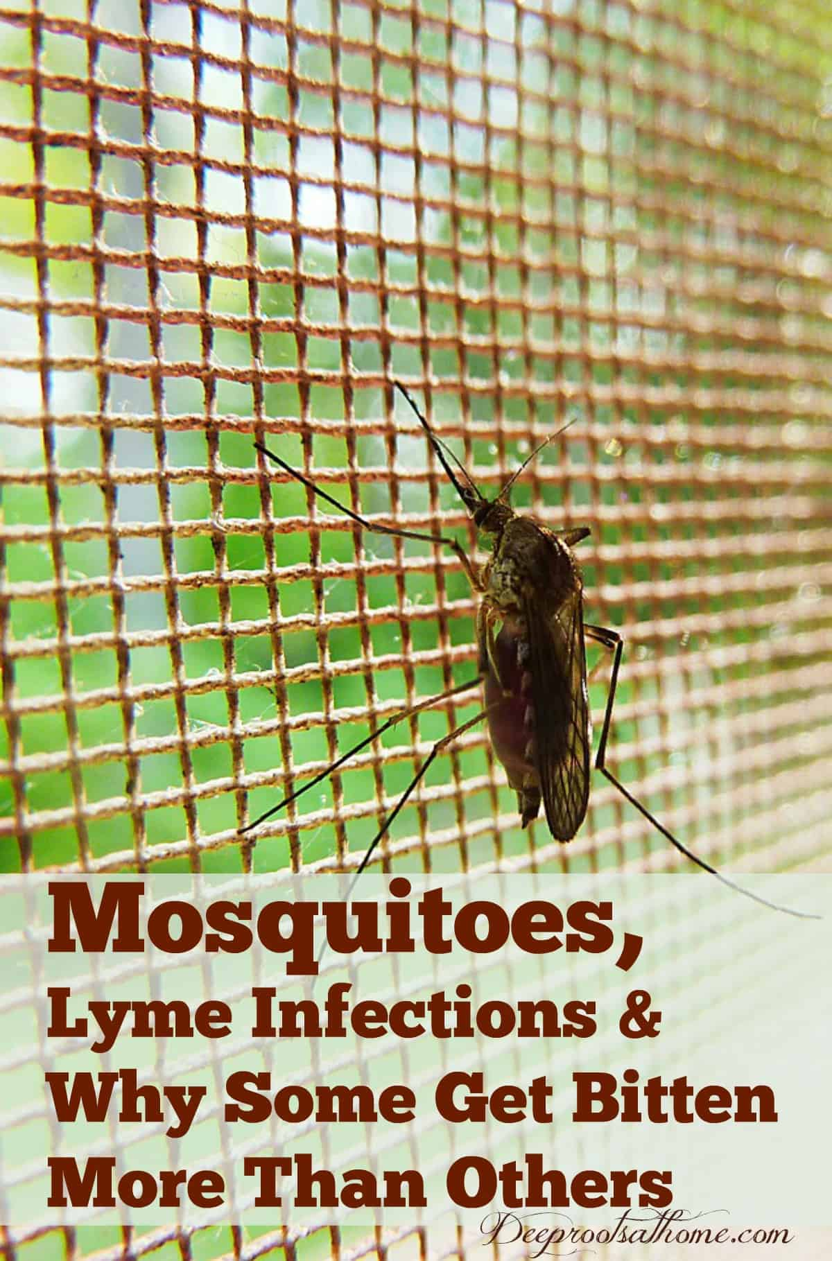 Mosquitoes, Lyme Infections & Why Some Get Bitten More Than Others. A big mosquito waiting for a meal of blood on the screen of a kitchen door. Pin image.