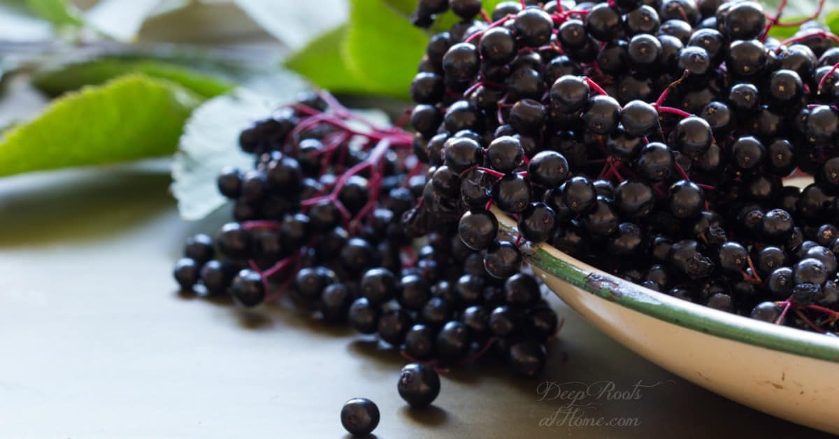 All About Elderberries! A Roundup: Winter is almost here! A big enamel pan filled with ripe elderberries