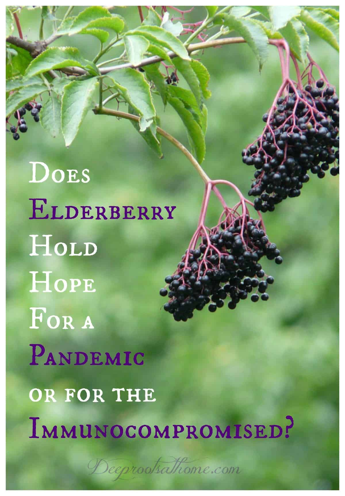 Does Elderberry Hold Hope For a Pandemic or for the Immunocompromised? Ripe elderberry fruit (sambucus nigra)