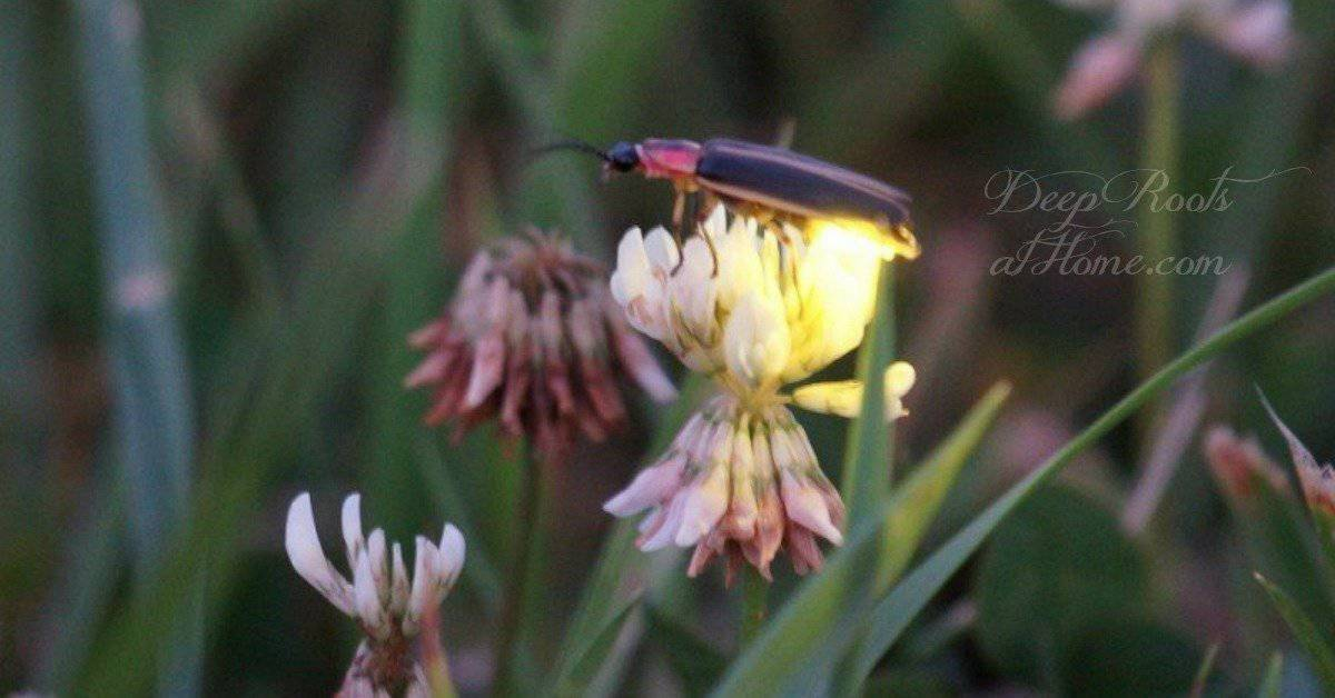 Fireflies Are Natural Pest Control: How To Make Yards Firefly-Friendly Firefly on clover.