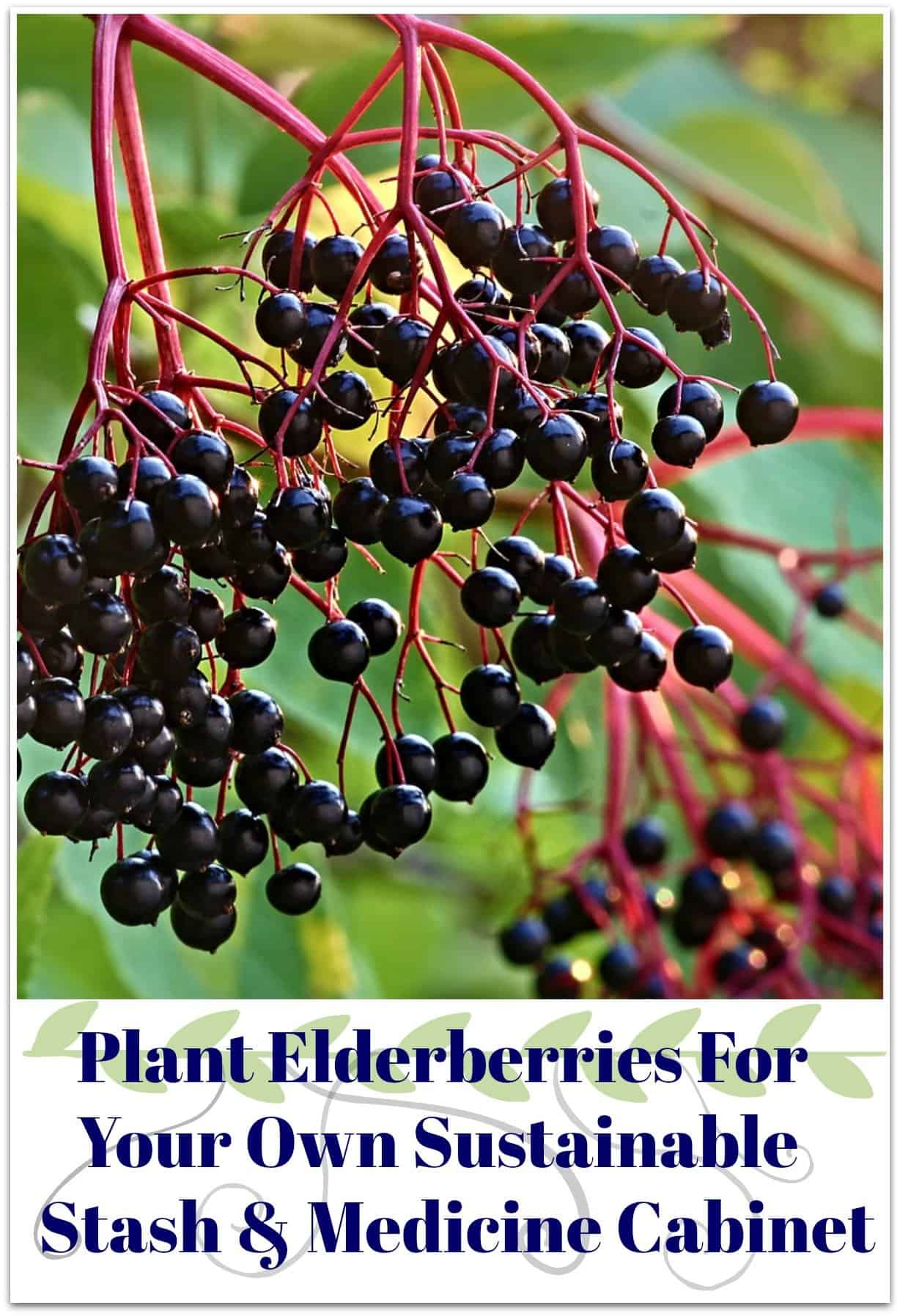 Plant Elderberries For Your Own Sustainable Stash & Medicine Cabinet. Beautiful berries hanging
