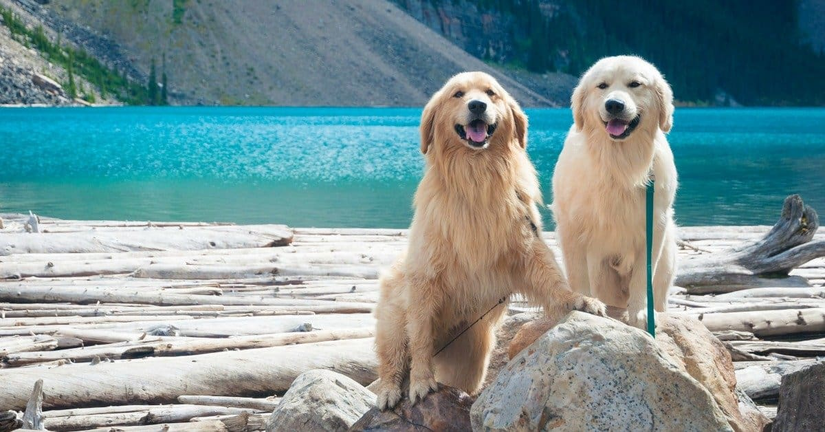 Pet Care 101: 65 Ways the Rabies Vaccine Can Harm Your Dog. goldens