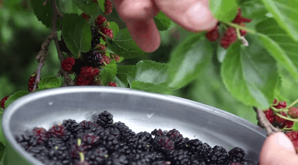 Mulberry Pie Recipe: Wild Sweet Fruit Awaits You in Mid-Late Summer.