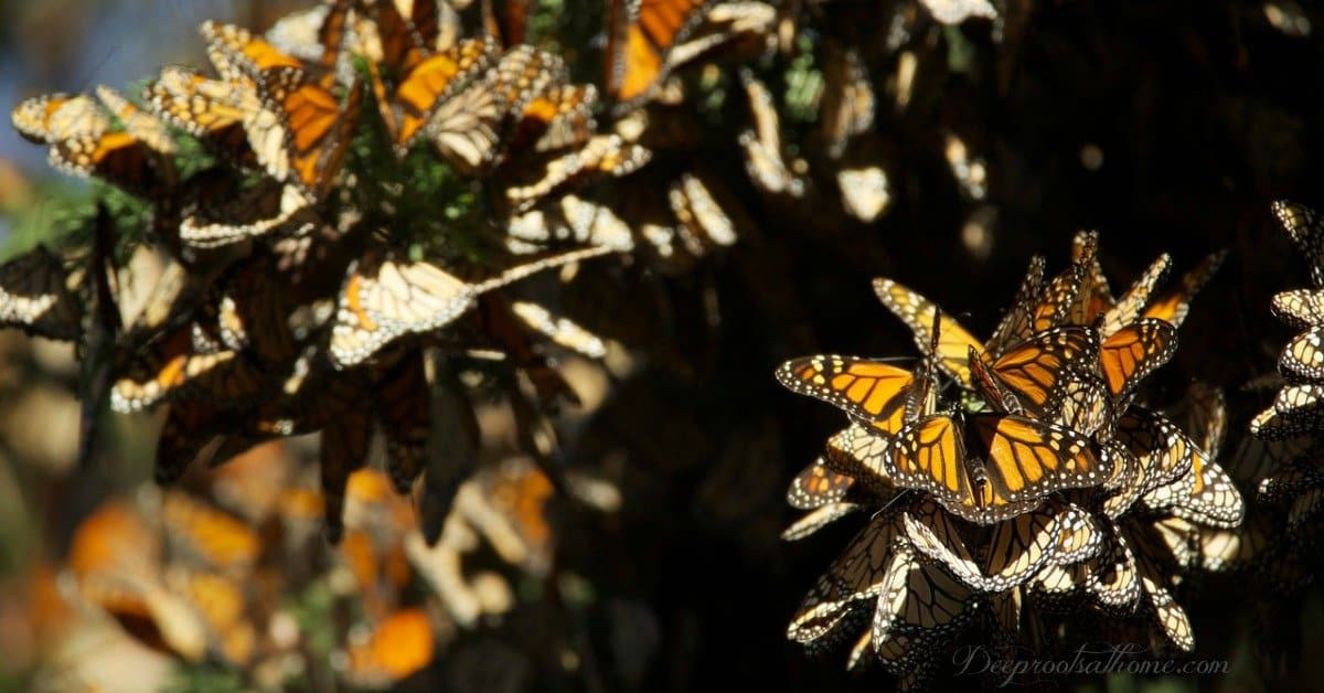 Gobsmacked by Monarchs: Precision Unexplained By Evolution. migration